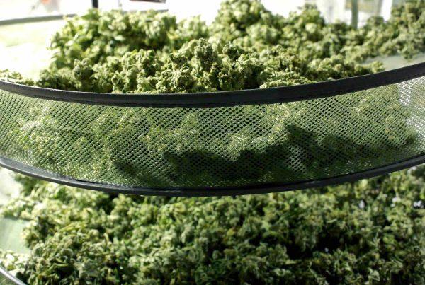 Methods for Marijuana Drying