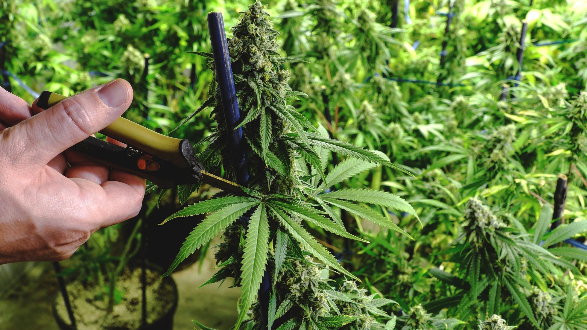Cannabis Defoliation